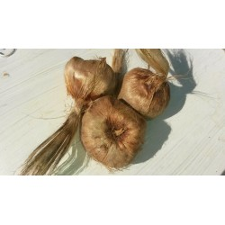 SAFFRON BULBS (CROCUS SATIVUS) X10